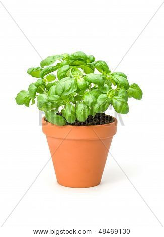 Basil in a clay pot on a white background
