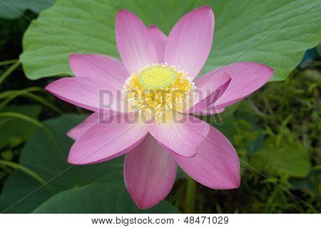 Lotus Blossoms