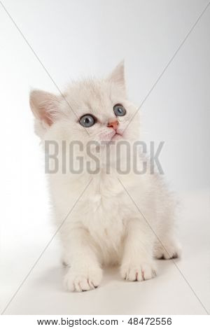 poster of White fluffy classic persian cat isolated on white