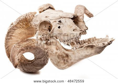 Profile of animal skull with big horn isolated isolated on white