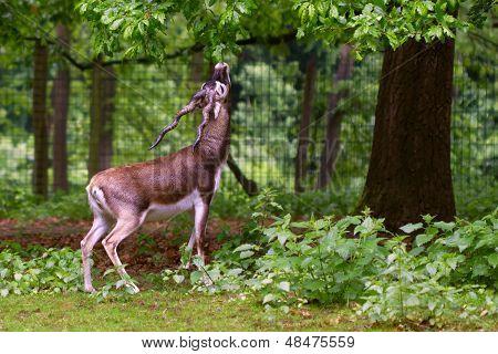 Blackbuck Antelope Eating From A Tree
