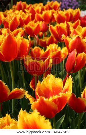 Tulip 'davenport' (liliaceae Tulipa 'davenport')
