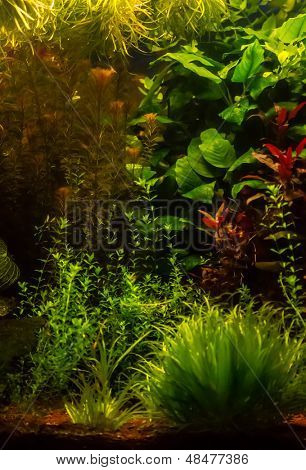 Background of the green aquarium seaweed underwater  poster