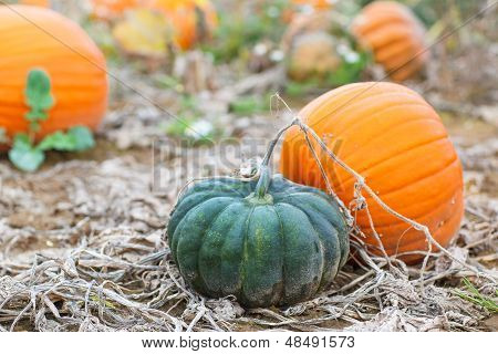 Pumpkin Field With A Lot Of Big Pumpkins
