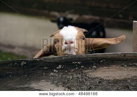 Young Kinder Goat Portrait, a close up shot