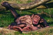 Chimpanzees taking a nap on a sunny day poster