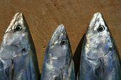 Bonito skipjack tuna Sarda Sarda in a row fresh fish poster
