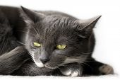 Portrait of a sleepy grey cat against white background. poster