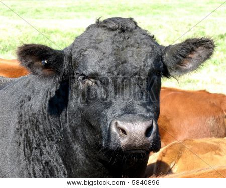 Red Angus Black Angus Calf Bull Heifer Cattle Portrait poster