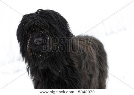 black Briard Dog
