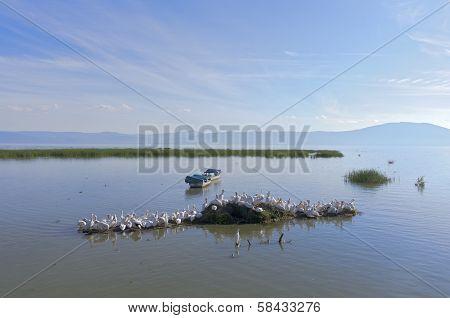Lake Chapala Pelicans