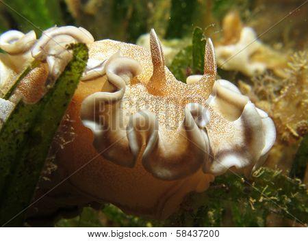 Brown-edged glossodoris