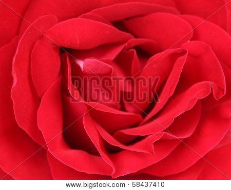 Close up of red rose petal.