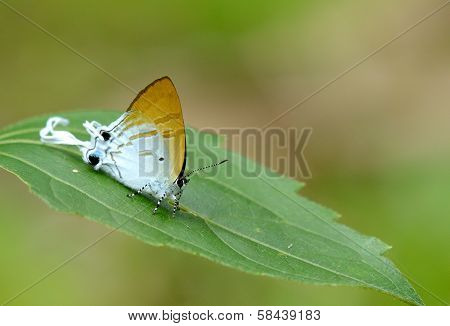 poster of beautiful Fluffy Tit butterfly (Zeltus amasa) on the green leaf