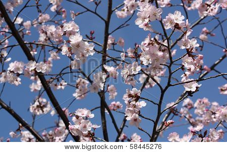 Pink japanese cherry twig blossom blue background