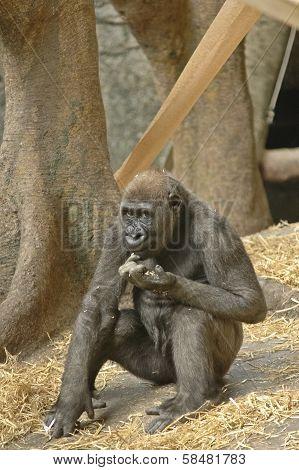 Black Gorilla Is Looking