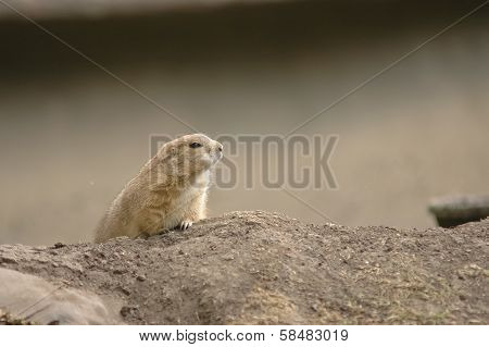 Brown Chipmunk