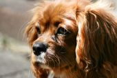 Ruby (Tan) Cavalier King Charles Spaniel Puppy poster