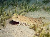 A leopard flounder camouflaged against a sandy hill poster