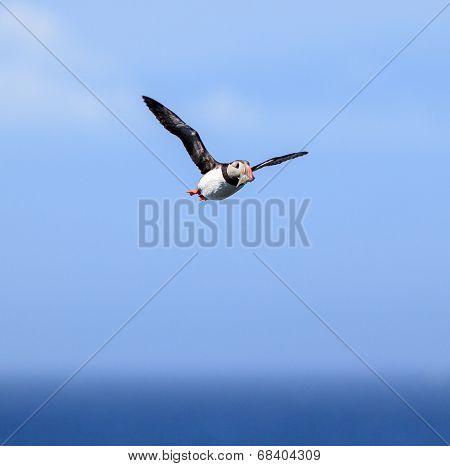 Atlantic Puffin (fratercula Arctica) In Flight