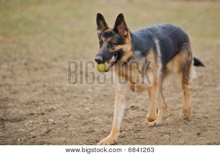 German Shepherd dog with a tennis ball in his mouth.
