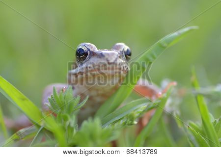 The Common Frog Rana temporaria also known as the European Common Frog poster