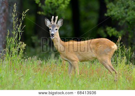 Roebuck (capreolus Capreolus)