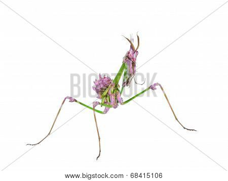 Predatory Mantis Insect With Mimicry Coloration