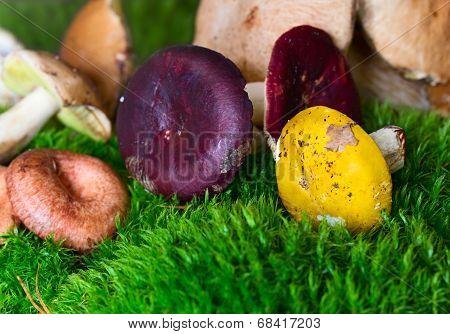 Multicolor Mushrooms Russula (anglophile)