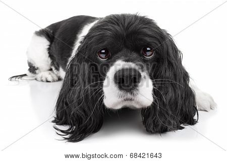 Spaniel Dog Isolated