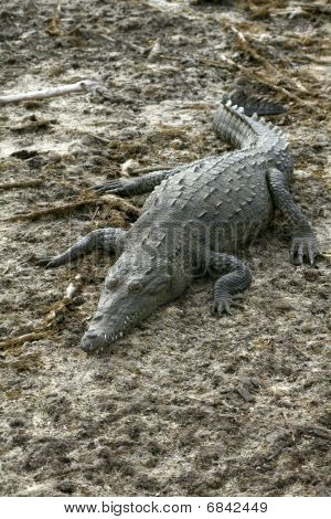 Photo of female crocodile on shore of lagoon at Punta Sur ecological park in Cozumel Mexico poster