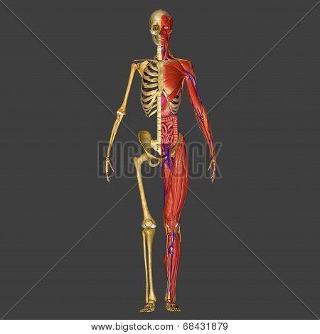 Half Skeleton and Half Muscular body