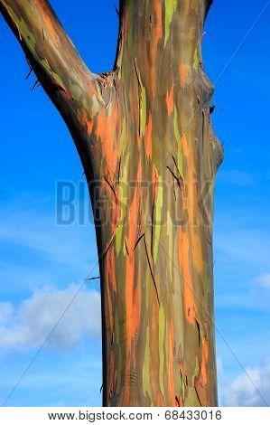 An Eucalyptus Tree In Hawaii