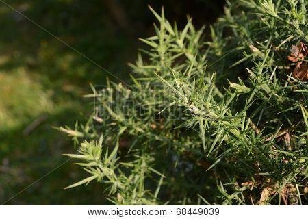 Ant On A Spiky Gorse Bush