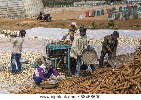 Crew Collecting, Cutting And Drying The Tapioca Roots In The Field.