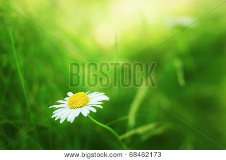 Spring Daisy - Stock Image.