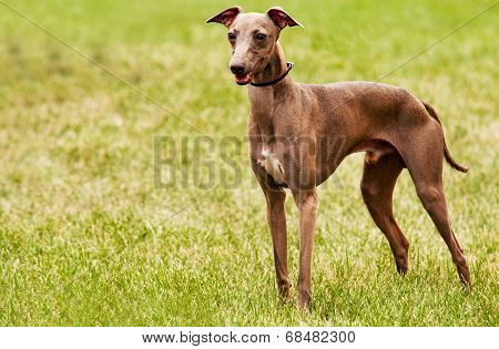 Azawakh - Is A Sighthound Dog Breed From Africa.