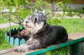 miniature schnauzer laying on the bench in the garden poster