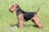 Welsh Terrier on a green summer meadow poster