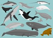 13 Marine Mammals in simplified flat vector cartoon poster