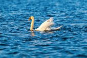 Mute swan in evening sun with reflections in water poster