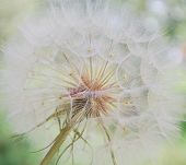 Dandelion inside macro photography for your webdesign. poster