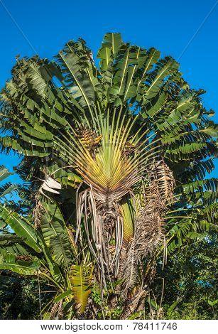 Ravenala or travellers tree over blue sky Madagascar poster