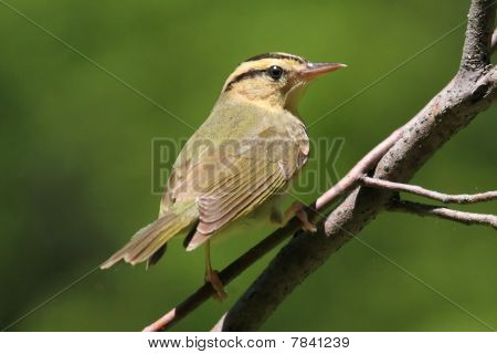 Worm-eating Warbler (Helmitheros vermivorum) on a branch in early spring poster