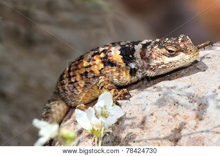 Crevice Spiny Lizard (sceloporus Poinsettii) (sceloporus Poinsettii)