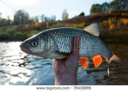 Really big chub in fisherman's hand, direct sunlight