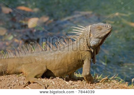 Green iguana profile.
