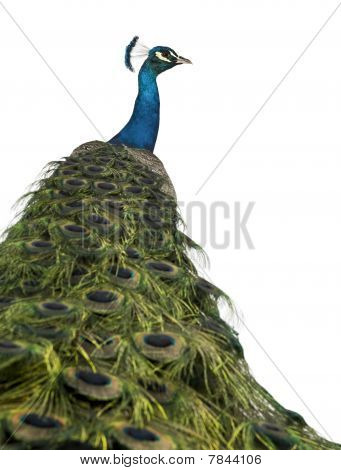 Rear View Of A Male Indian Peafowl In Front Of White Background