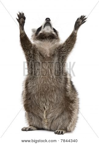 Raccoon 2 years old reaching up in front of white background poster