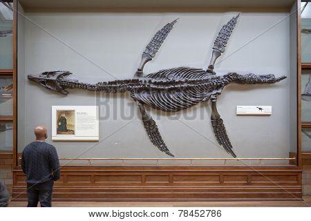 LONDON, UK - DECEMBER 11: Visitor looking at pliosaur fossilised skeleton at the Natural History Museum. December 11, 2014 in London.